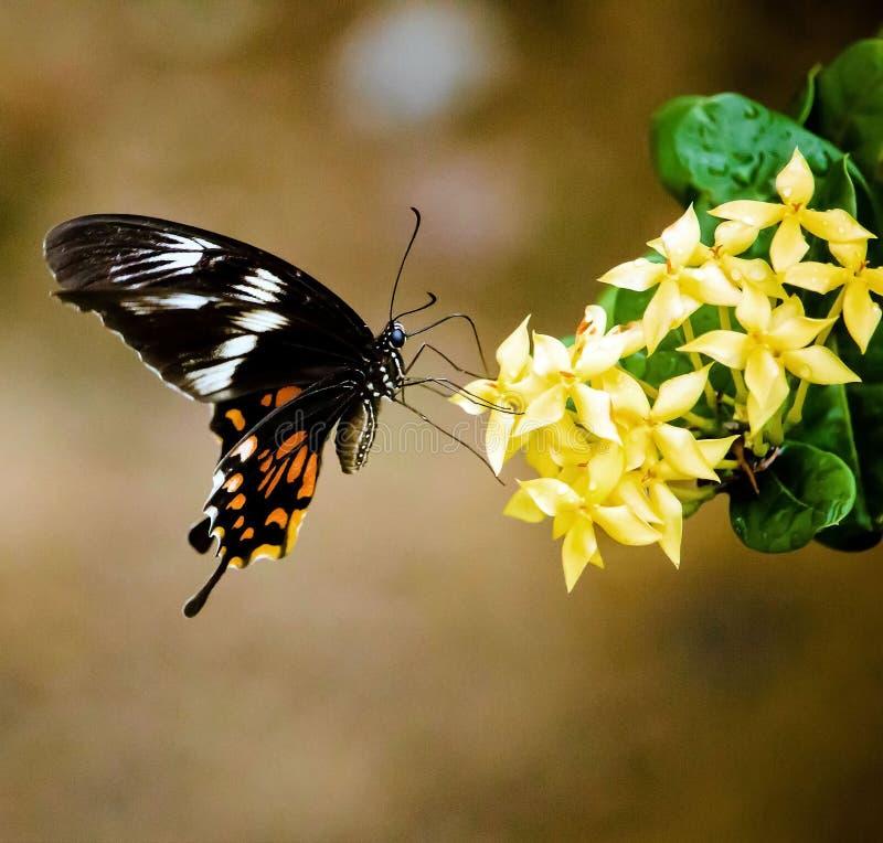 Indiański motyl - Papilio polytes obraz stock
