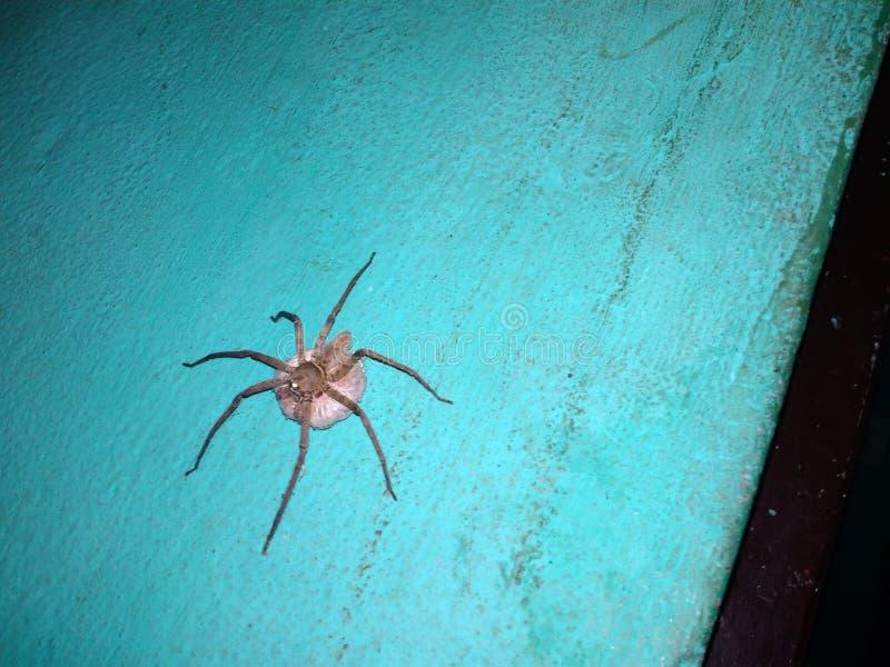 Indiański pająk obrazy royalty free