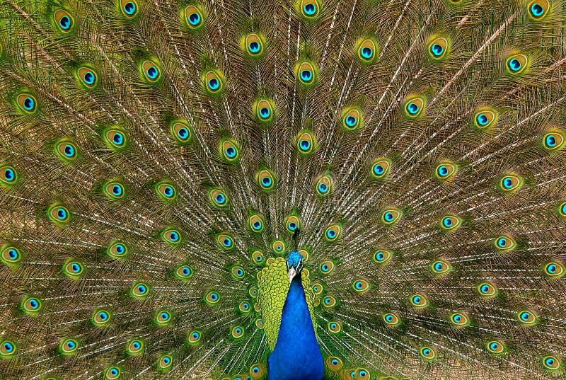 Indiański Peafowl zdjęcia royalty free
