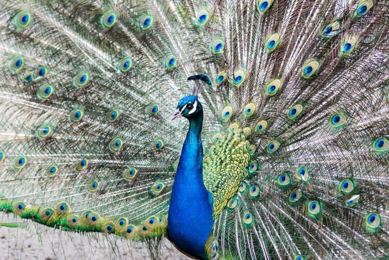 Indiański peafowl, Pavo cristatus/ fotografia stock