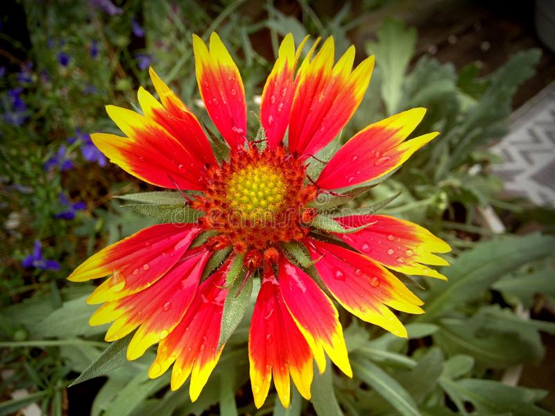 Indiański Powszechnego kwiatu płatek obraz royalty free