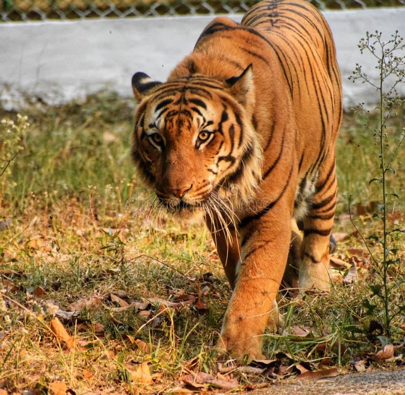Indiański tygrys zdjęcie stock