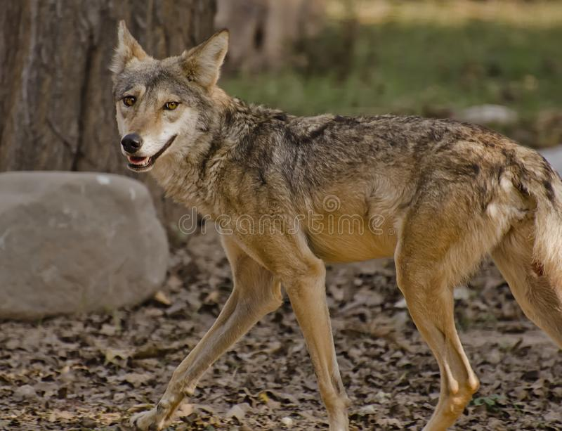 Indiański wilk obraz stock