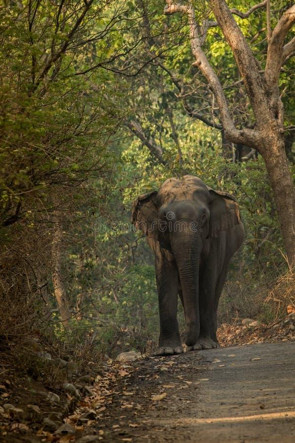 Indiańskiego słonia Elephas maximus - Makhna obrazy royalty free
