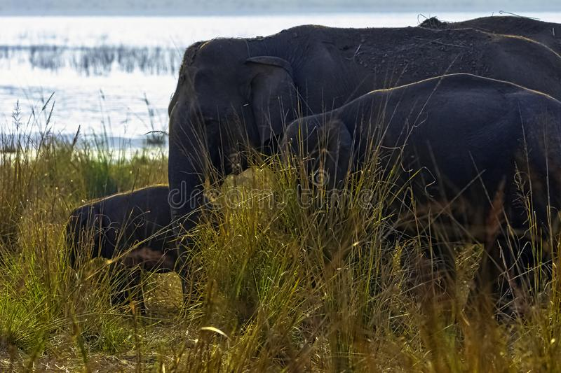 Indiańskiego słonia rodzina w Jim Corbett parku narodowym, India fotografia royalty free