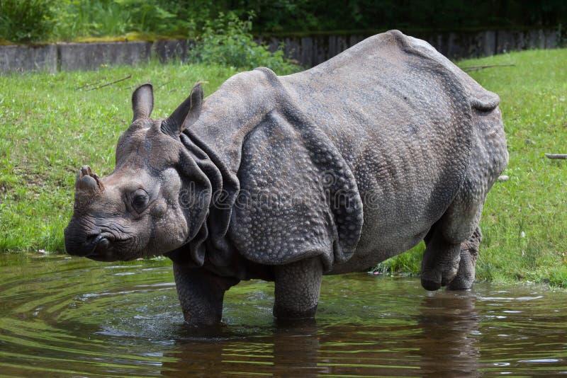 Indiańskiej nosorożec nosorożec unicornis zdjęcie stock