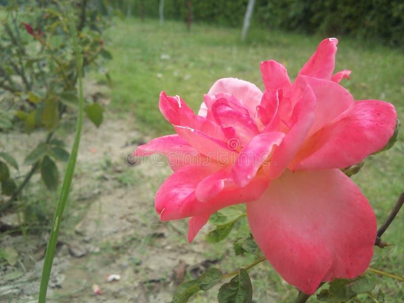 Indiańskiej rewolucjonistki róży kwiat od natury zdjęcia royalty free