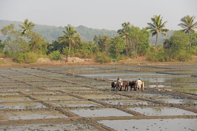 India, GOA, Styczeń 19, 2018 Męscy pracownicy orzą ryżu pole z pługami, byki i woły Orze ryżowego pole z a i pługiem zdjęcia royalty free