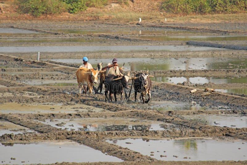 India, GOA, Styczeń 19, 2018 Męscy pracownicy orzą ryżu pole z pługami, byki i woły Orze ryżowego pole z a i pługiem fotografia royalty free