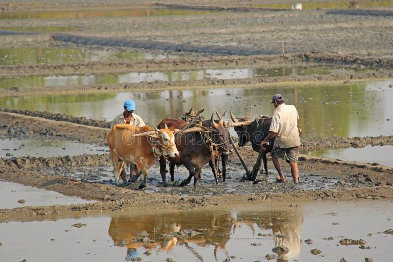 India, GOA, Styczeń 19, 2018 Męscy pracownicy orzą ryżu pole z pługami, byki i woły Orze ryżowego pole z a i pługiem zdjęcia stock