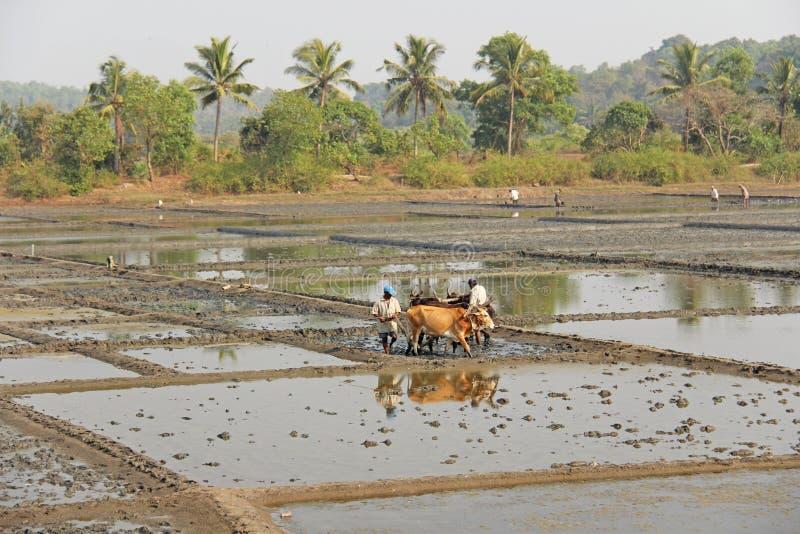 India, GOA, Styczeń 19, 2018 Męscy pracownicy orzą ryżu pole z pługami, byki i woły Orze ryżowego pole z a i pługiem fotografia stock