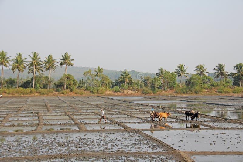 India, GOA, Styczeń 19, 2018 Męscy pracownicy orzą ryżu pole z pługami, byki i woły Orze ryżowego pole z a i pługiem obrazy stock