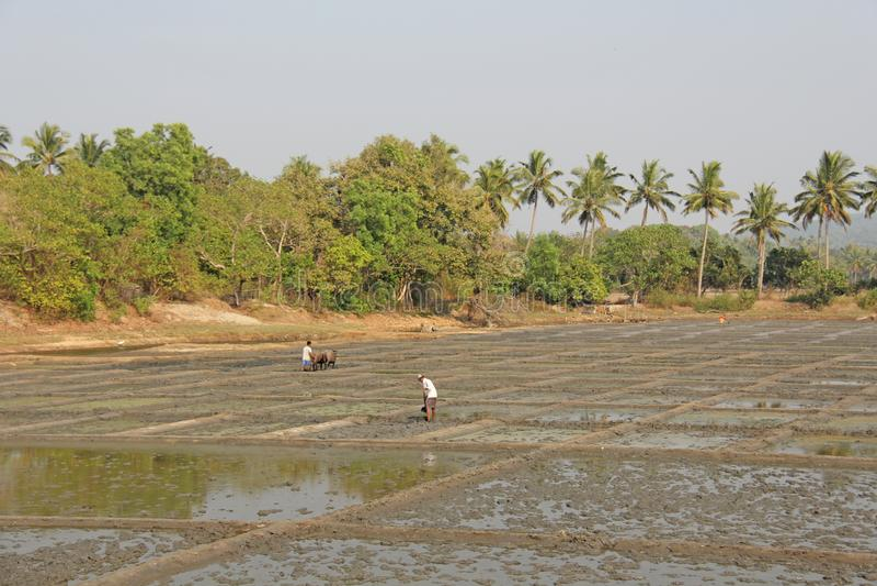 India, GOA, Styczeń 19, 2018 Męscy pracownicy orzą ryżu pole z pługami, byki i woły Orze ryżowego pole z a i pługiem obraz stock