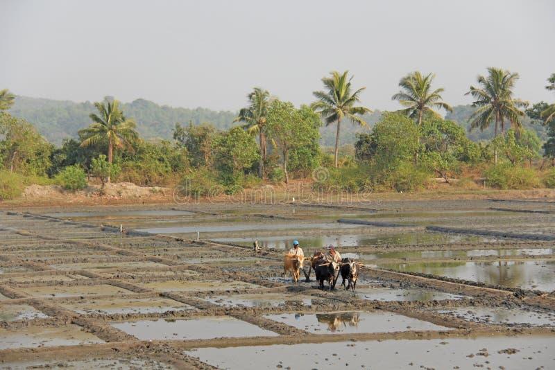 India, GOA, Styczeń 19, 2018 Męscy pracownicy orzą ryżu pole z pługami, byki i woły Orze ryżowego pole z a i pługiem obrazy royalty free