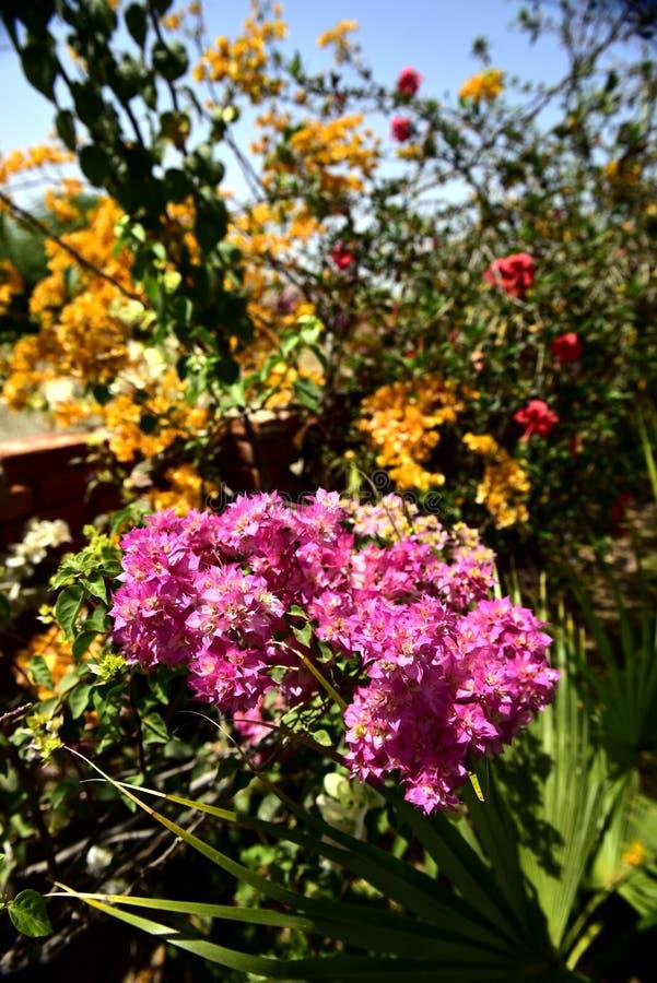 India kwitnie w ogródzie zdjęcie stock