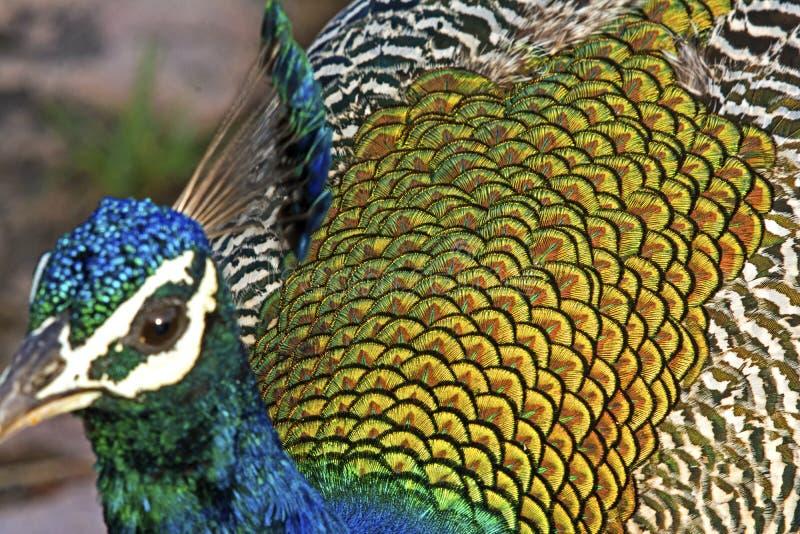 India peafowl royalty-vrije stock fotografie