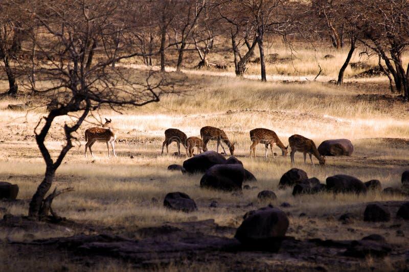 India, Ranthambore: Deers royalty free stock image