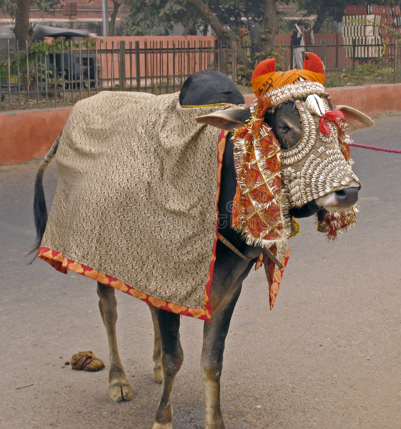India - sacred cow royalty free stock photos