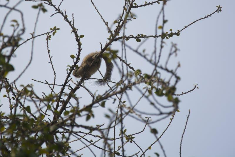 Download Indiańska Palmowa Wiewiórka Zdjęcie Stock - Obraz złożonej z fauny, chandigarh: 57670722