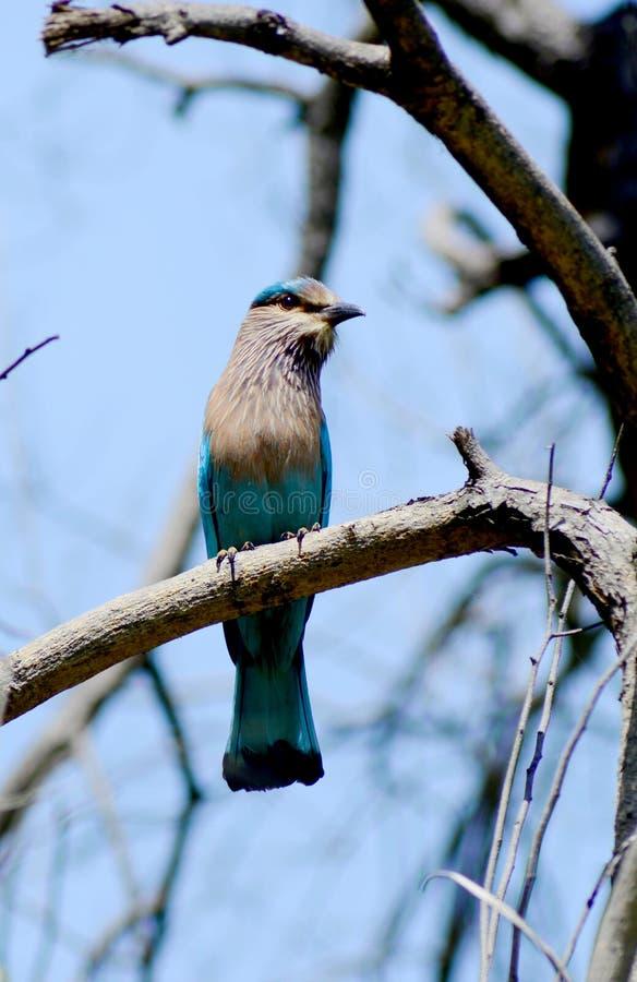 Download Indiański Rolkowy ptak zdjęcie stock. Obraz złożonej z drzewo - 57653380