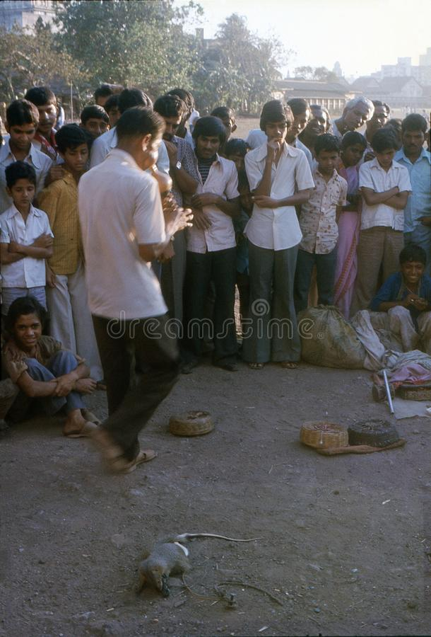 1977. India. Snake charmer in Bombay. The photo shows, a snake charmer, letting a mongoose fighting a snake, while playing a snake charmer flute. Before this royalty free stock photography