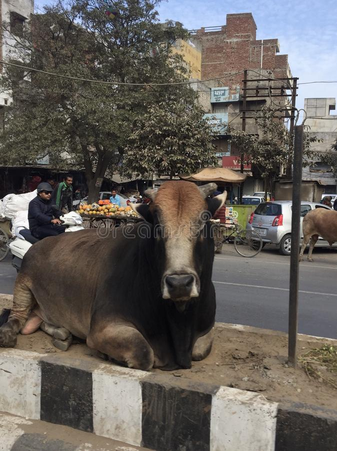 Download Cow editorial image. Image of india, road, chilling - 105297230