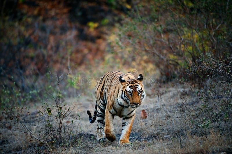 india tiger royaltyfria foton