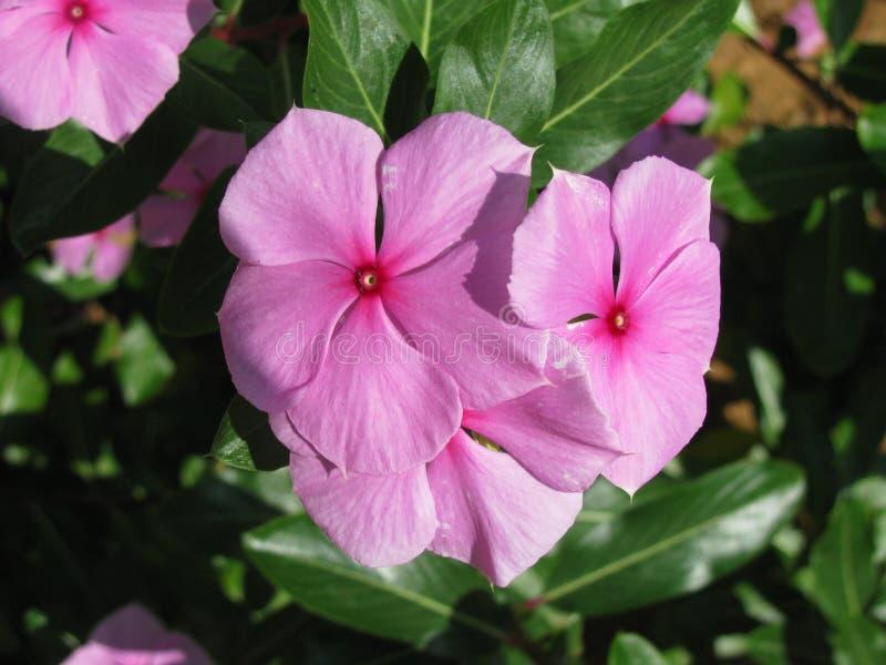 India. Tropical flower in Puttaparthi. stock photos
