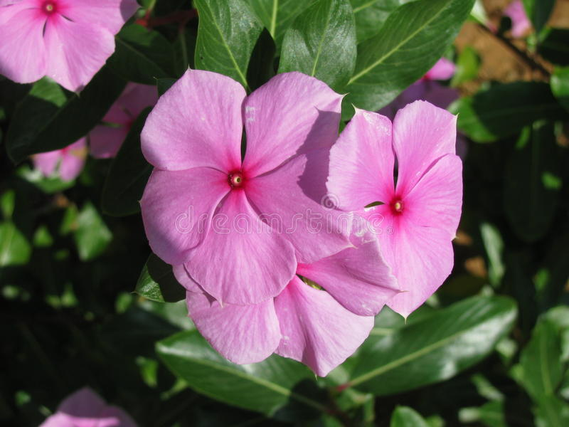 India Tropische bloem in Puttaparthi stock foto's