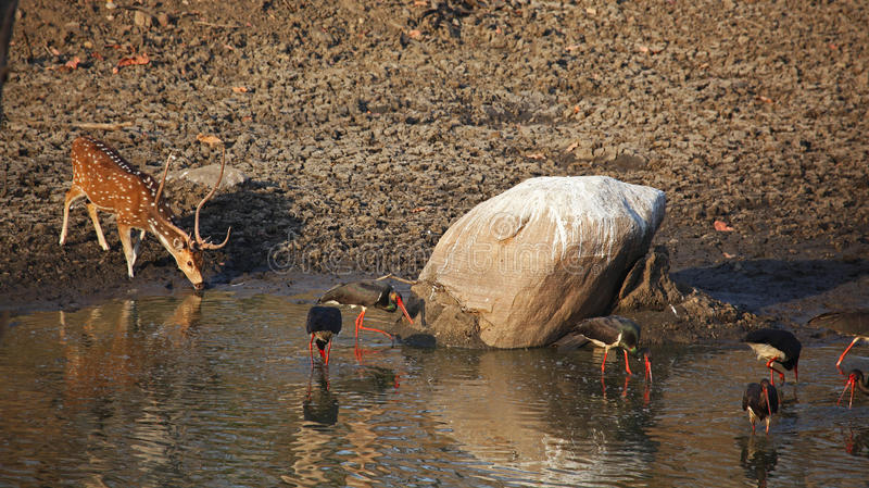 India Watering Hole. Photo of a watering hole with a deer and storks at it, Pench National Park, India stock photography