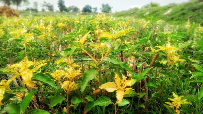 Indianów pola z zielenią i żółtą rośliną obraz stock