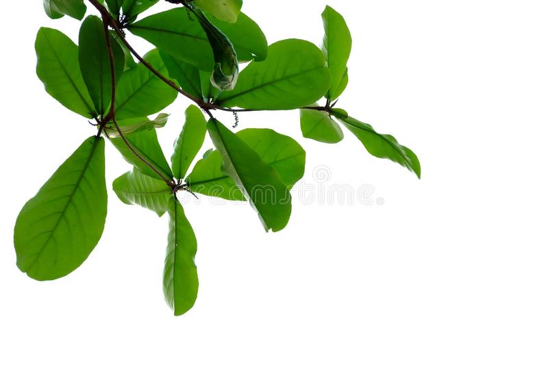 Indian almond tree leaves with branches on white isolated background for green foliage backdrop. Tropical tree leaves branches white isolated background green stock images