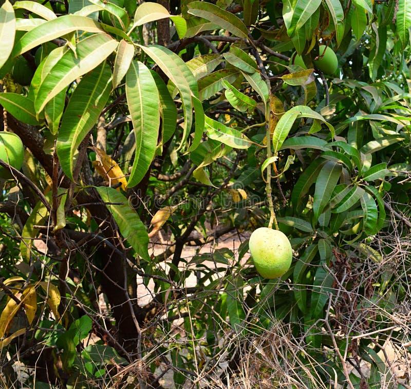 indian alphonso mango mango tree mangifera indica photograph unripe fruit hanging photograph 90916224