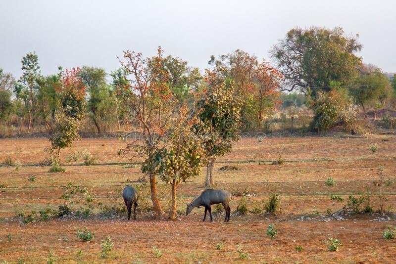 Nilgau antelopes on abandoned farmland eat mulberry royalty free stock photos