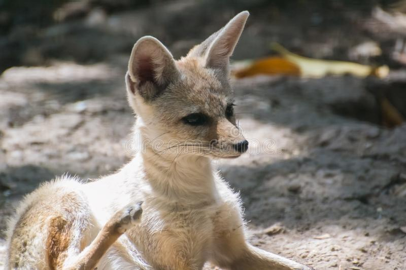 Indian or Bengal Fox royalty free stock photo