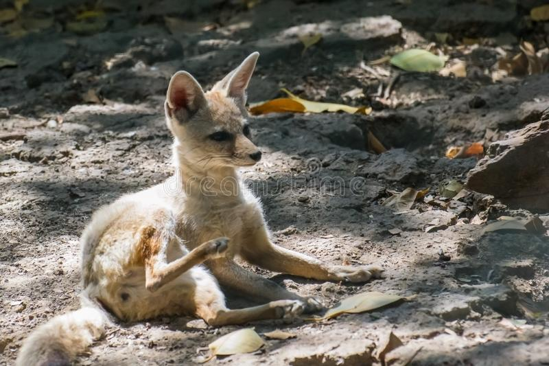 Indian or Bengal Fox. Vulpes bengalensis resting and pruning stock photo