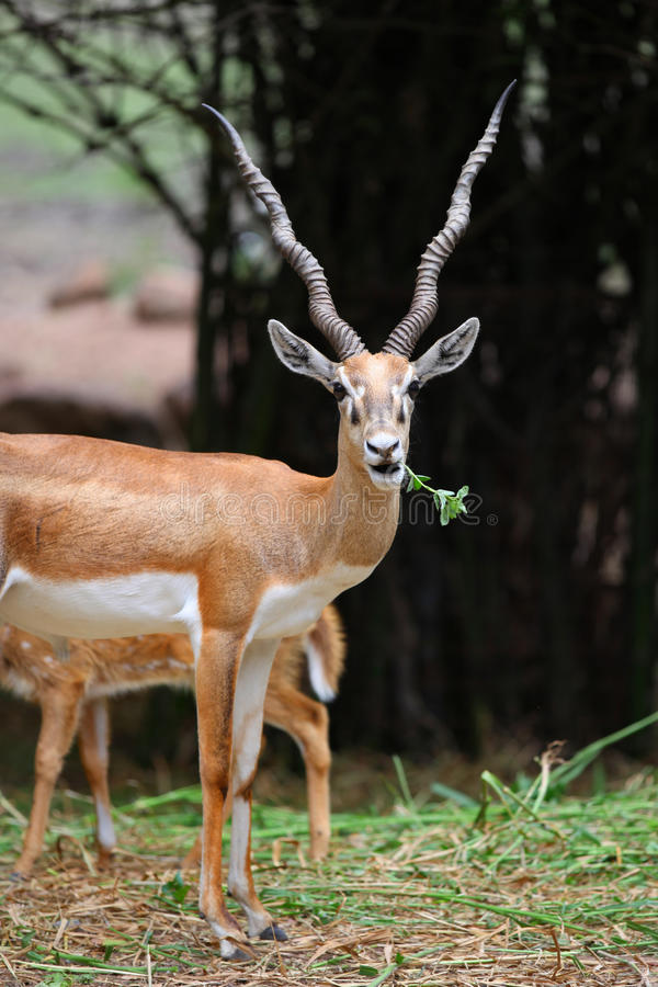 Free Indian Black Buck Royalty Free Stock Photos - 37533698
