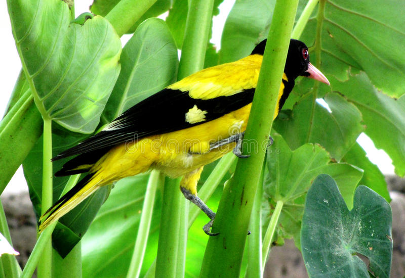 Indian black-hooded oriole stock photos
