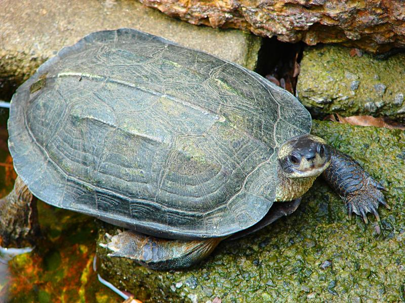 Indian Black Turtle - Melanochelys Trijuga - active and stepping. This is a close up photograph of Indian black turtle - Melanochelys Trijuga stepping on stones stock photos
