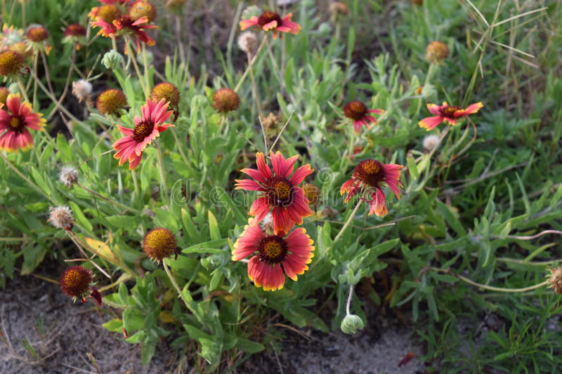Indian Blanket Flower royalty free stock photography