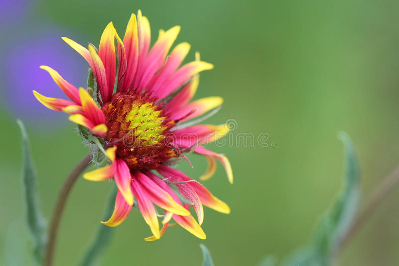 Indian blanket flower royalty free stock photos