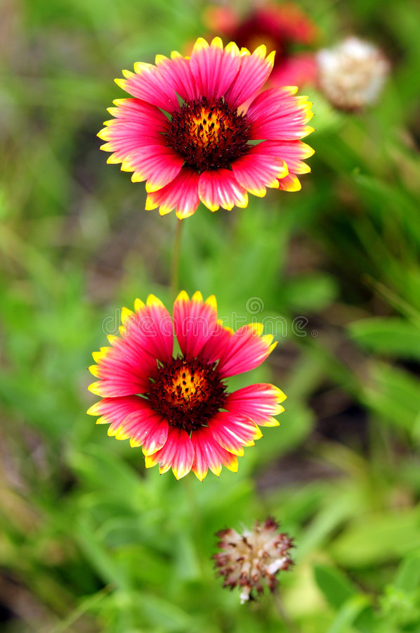 Free Indian Blanket Flowers Royalty Free Stock Photo - 5055725
