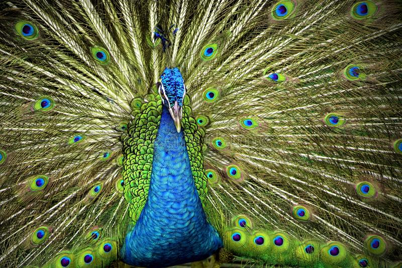 Indian Blue Peafowl. With open tails royalty free stock images