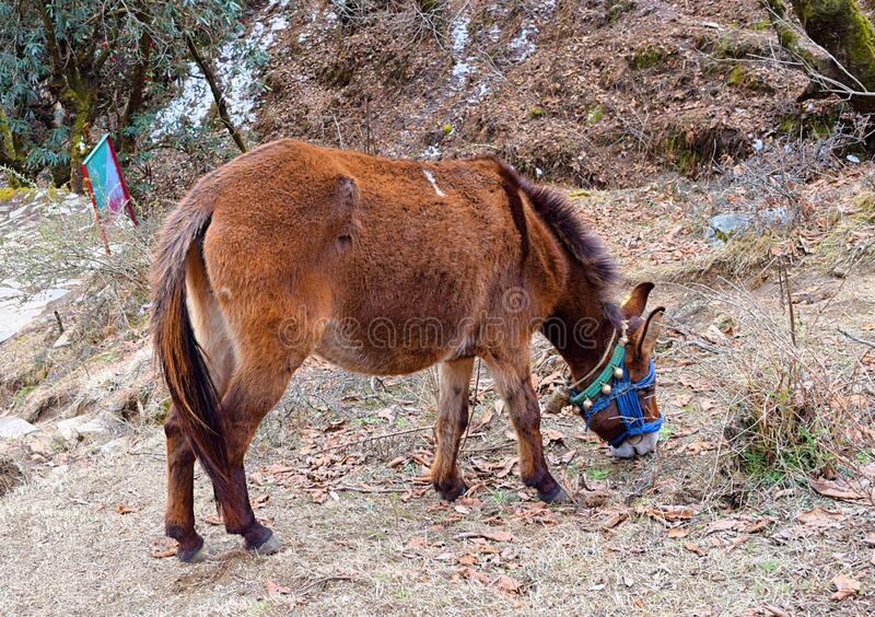 An Indian Breed of Pony Horse - Equus ferus caballus - in Himalayan Mountains Grazing off the Trek during Trekking - India royalty free stock photos