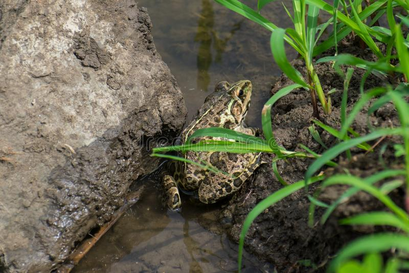 Indian Bull Frog stock images
