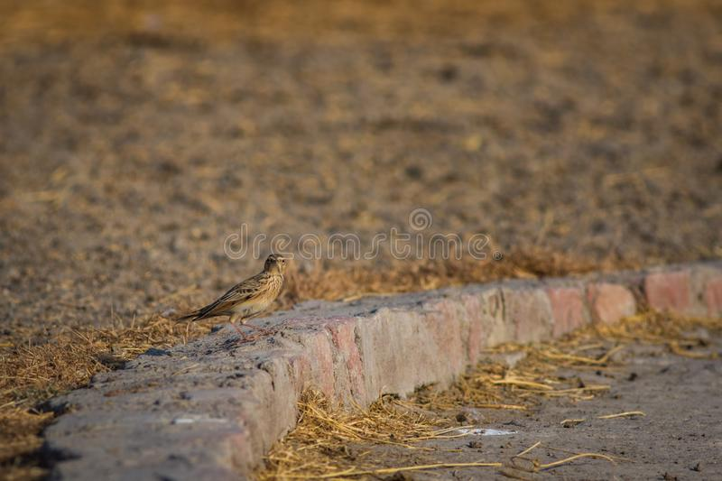 Indian bush lark or Mirafra erythroptera Clicked these beauty in tal chappar india. The Indian bush lark or Mirafra erythroptera is a species of lark in the royalty free stock photography