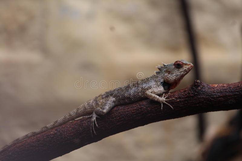Indian Chameleon. A Indian chameleon on a branch of a broken tree stock images