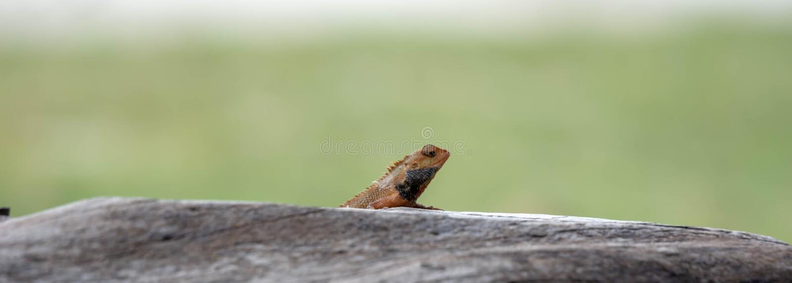 Indian Chameleon on a cement railing in a park with green blurry background. During day royalty free stock photo