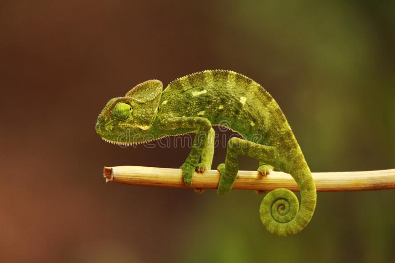Indian Chameleon, Chamaeleo zeylanicus, Bandipur National Park, Karnataka, India. Indian Chameleon, Chamaeleo zeylanicus at Bandipur National Park in Karnataka stock image