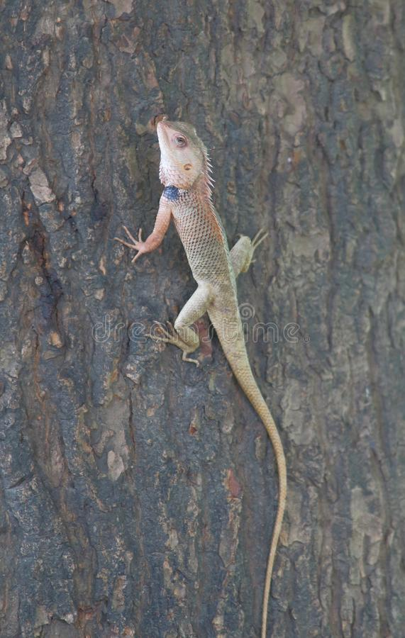 Indian chameleon royalty free stock photography